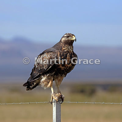Juvenile Black-Chested Buzzard-Eagle (Geranoaetus melanoleucus) stands on a fence post, Patagonia, Chile