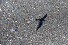 Arctic tern shadow