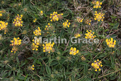 Kidney Vetch (Anthyllis vulneraria), Veensgarth, Tingwall, Shetland