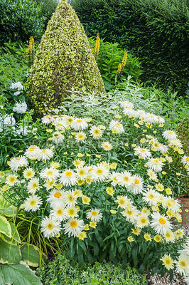 The Vean Garden is predominantly white, blue and gold with clipped golden privet in each corner surrounded by lush herbaceous plants including Leucanthemum x superbum 'Goldrausch', variegated phlox and ligularias. Bosvigo, Truro, Cornwall, UK