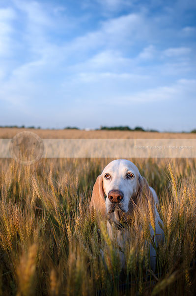 white hound hiding in wheat under blue sky