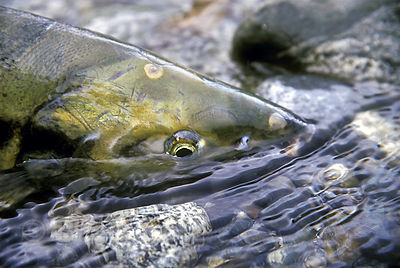 Close-up of a battle-worn chum salmon after its journey from the Pacific to the Atnarko River, Great Bear Rainforest, British Columbia