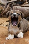 Sleeping puppy yawning.