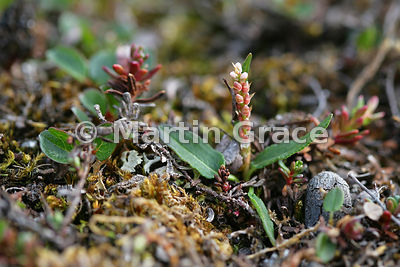 Knotweed with bulbils (Polygonum viviparum), Blomstrandhalvoya, Kongsfjorden, Svalbard