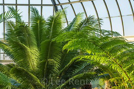 Ferns in the Anna Scripps Whitcomb Conservatory in Belle Isle Park