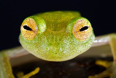 Glass frog (Hyalinobatrachium cappellie)  photos