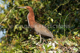tiger_heron_perch-1