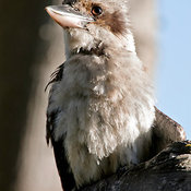 Laughing Kookaburra (Dacelo novaeguineae) in Bradleys Head National Park, Mosman, New South Wales, Australia