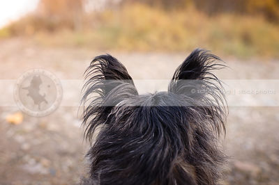 alert scruffy dog ears from behind in natural setting