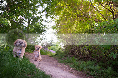two cute little tan dogs staring at camera on trail in summer setting