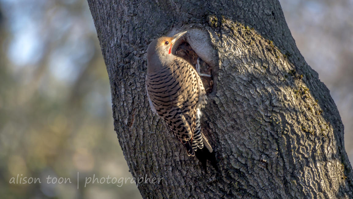 Woodpeckers and Flickers photos