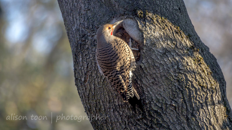Northern Flicker, Sacramento, California