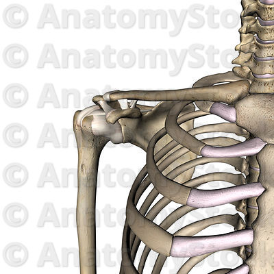 shoulder-ligaments-acromioclaviculare-transversum-humeri-coracoacromiale-coracohumerale-coracoclaviculare-scapulae-superius