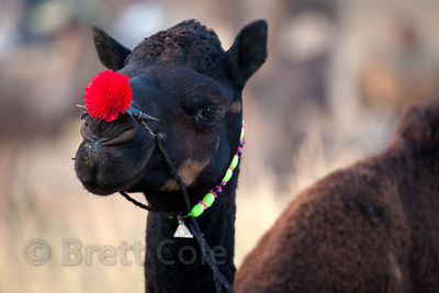A camel with a flower adorning its nose, Pushkar, Rajasthan, India