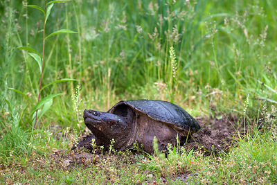 Snapping turtle on a farm in Rochester, Shawangunks, New York