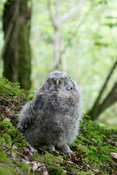 Down covered Tawny owl (Strix aluco) chick sitting on woodland floor, Cumbria, UK.