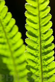 Ladder Fern