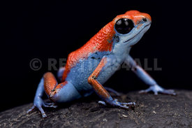 "Strawberry dart frog, Oophaga pumilio ""Escudo"""