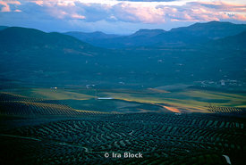 Olive oil trees in Andalucia Spain