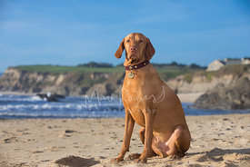 Noble Looking Red Vizsla Dog Sitting on Beach in three-quarter pose looking toward viewer