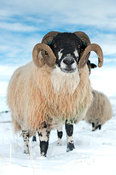 Dalesbred ram on moorland in snow. North Yorkshire, UK.