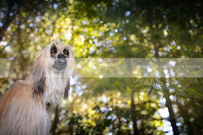portrait of longhaired afghan hound dog in sparkly forest