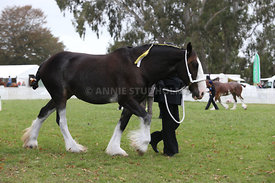 HOY_220314_Clydesdales_2365