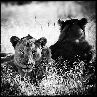 Two lionesses back to back, Tanzania 2002 © Laurent Baheux
