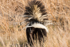 skunk_in_grass-1