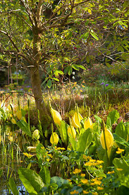 Lysichiton americanus (Skunk Cabbage) beneath Rhododendron