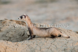 ferret_full_burrow_front-1