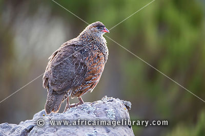 Chestnut-naped spurfowl (Pternistes casteincollis), Sanetti Plateau, Bale Mountains National Park, Ethiopia