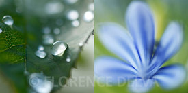 Juxta_blue_flower-1