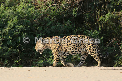 Male Jaguar 'Hero' (Panthera onca) walks along the top of the beach, Three Brothers River, Northern Pantanal, Mato Grosso, Brazil. Image 31 of 62; elapsed time 40mins