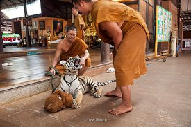 Tiger and monks playing at the Tiger Temple in Kanchanaburi, Thailand.