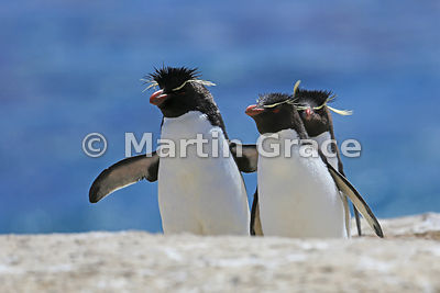 Clean Southern Rockhopper Penguins (Eudyptes chrysocome chrysocome) hopping up the penguin highway from the sea, Cape Coventry, Pebble Island