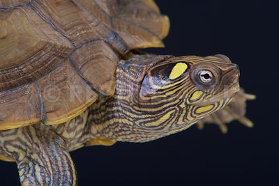 Map turtle (Graptemys ouachitensis) photos