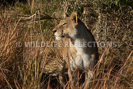 lioness_peering_over_grass_1