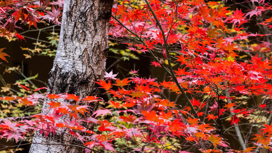 Japanese Maples photos