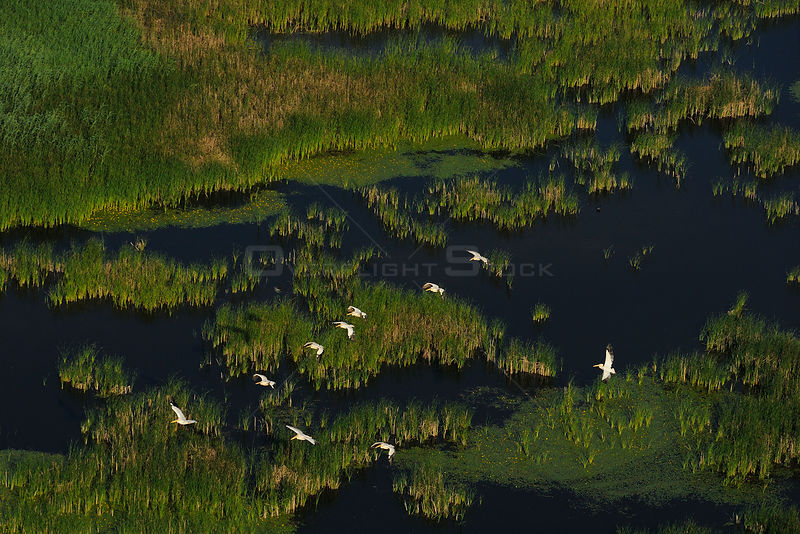 Eastern white pelicans (Pelecanus onocrotalus), aerial view of flock flying over the Danube delta rewilding area, Romania, June 2012