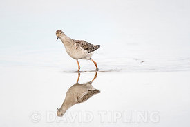 Ruff Philomachus pugnax passage migrant at Titchwell RSPB Reserve Norfolk August