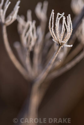 Skeletal frosted form of umbellifer flowerhead in October