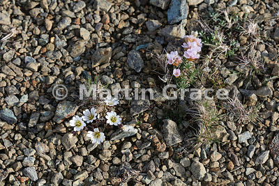 Edmonston's Chickweed (Shetland Mouse-Ear) (Cerastium nigrescens ssp nigrescens) (left) with Thrift (Armeria maritima), Keen of Hamar, Unst, Shetland