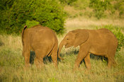 Young elephants, Loxodonta africana, Kruger National Park, South Africa