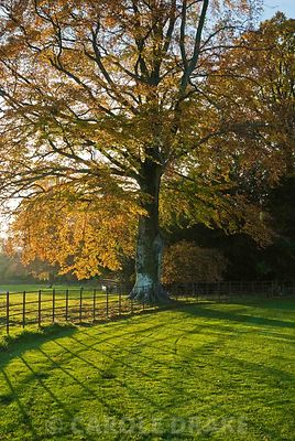 Beech tree turning colour on the edge of  the garden. Larmer Tree Gardens, Tollard Royal, Salisbury, Wilts, UK