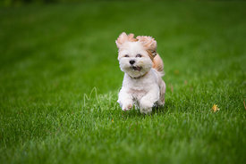 small dog running across green grass eyes wide open