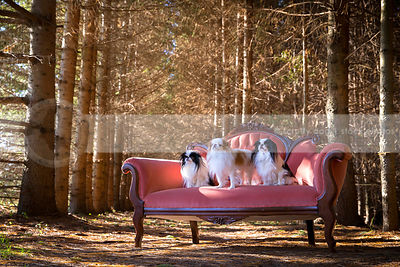 pack of three toy breed dogs on settee in pine tree forest