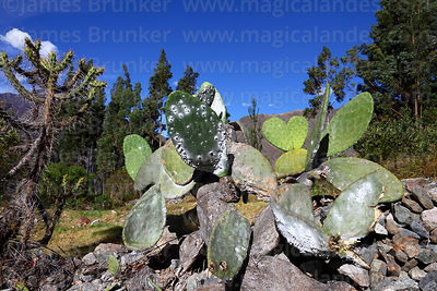 Cacti photographs
