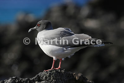 Swallow-Tailed Gull (Larus furcatus), Darwin Beach, Genovesa, Galapagos Islands