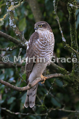 Juvenile male Eurasian Sparrowhawk (Accipiter nisus) perches in a garden Lilac (Syringa sp), Lake District National Park, Cumbria, England
